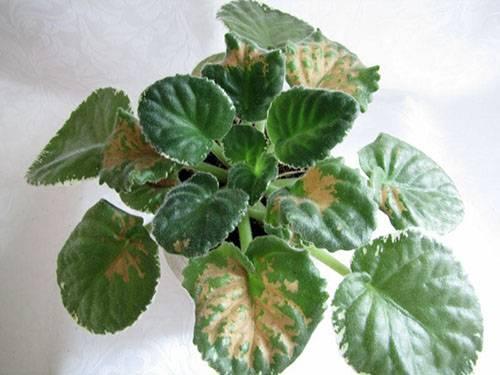 Как помочь своему растению? все о болезнях и вредителях фиалок