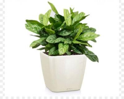 Аглаонема трейба комнатные растения фото