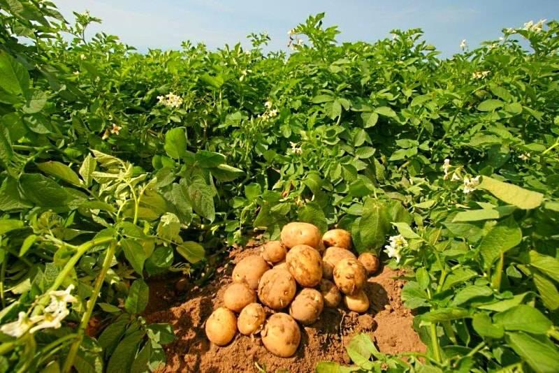 Применение золы: удобрение и средство от вредителей