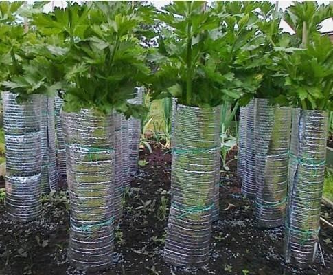 Секреты выращивания рассады сельдерея