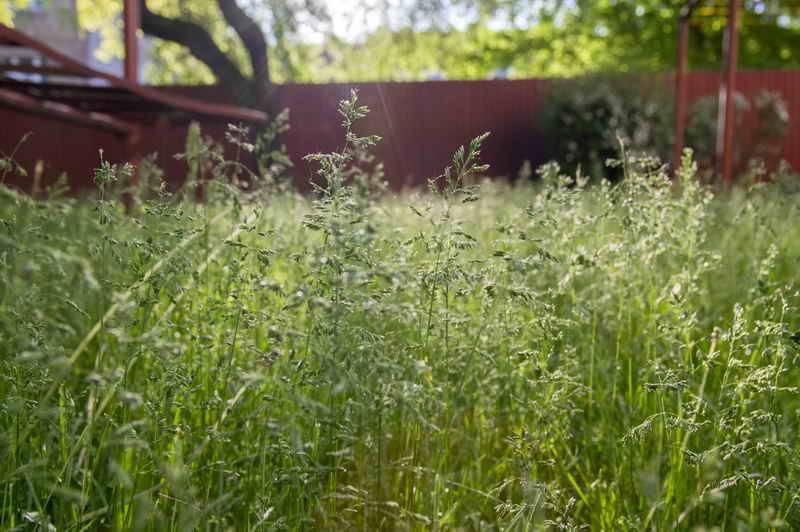 Клевер для создания газона: плюсы и минусы.