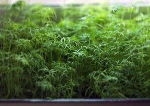 Как вырастить укроп на подоконнике в квартире: необходимый инвентарь и пошаговое руководство
