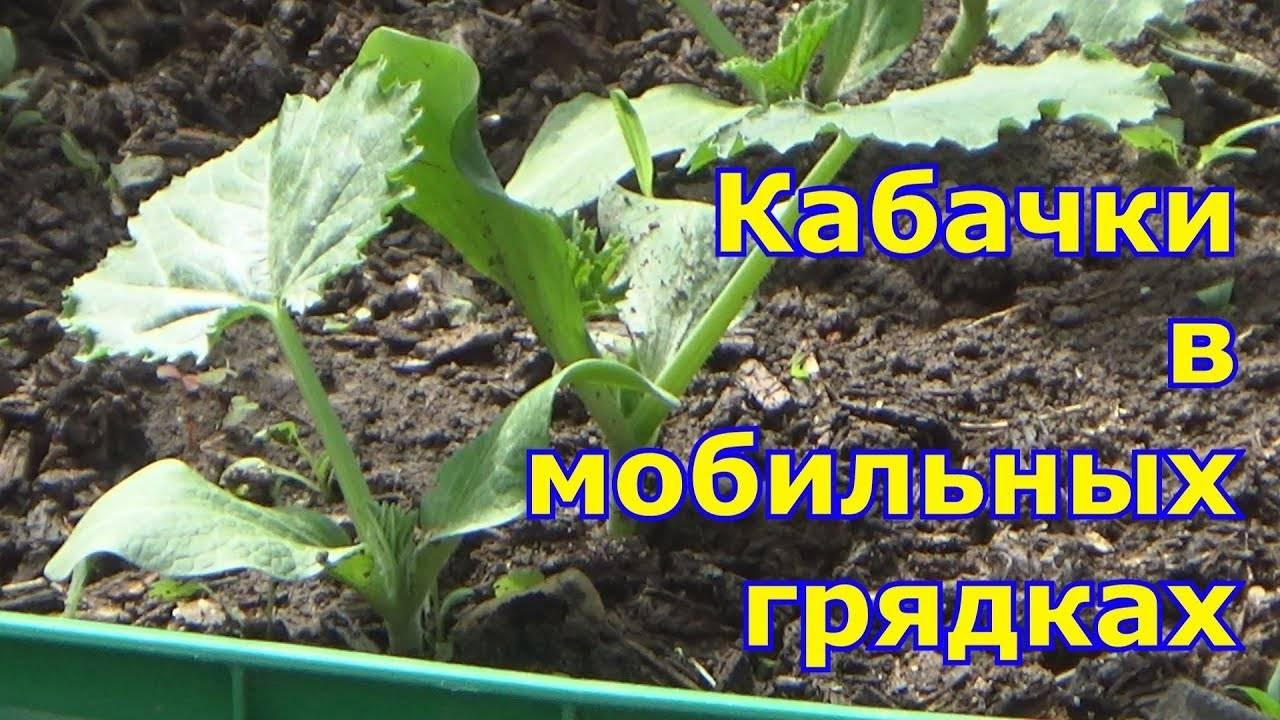 Технология выращивания кабачков в бочке