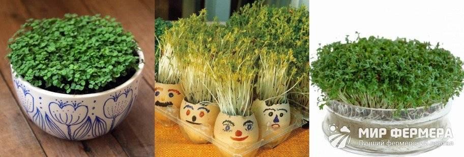 Кресс салат: посадка, выращивание, уход, сорта, полезные свойства