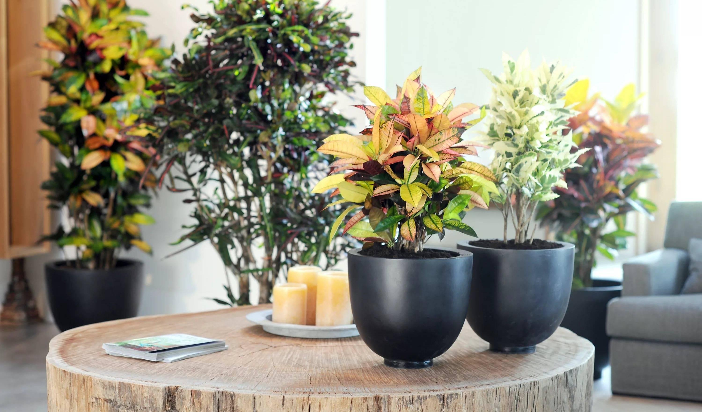 Кротон:выращивание в домашних условиях. размножение, уход и главные проблемы при выращивании кротона в домашних условиях