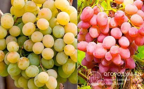 Описание винограда сорта «анюта» и обзор отзывов о его выращивании