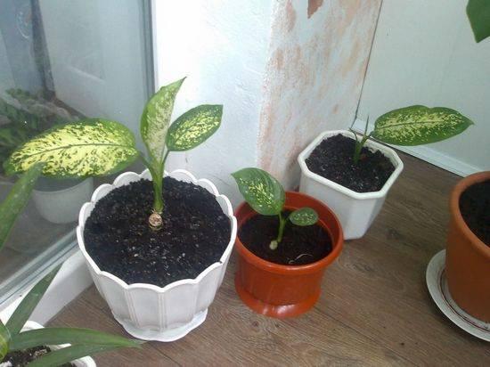 Как размножить диффенбахию черенками и листом
