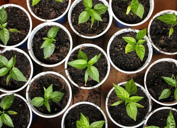Правильный уход за перцем в теплице из поликарбоната: 6 правил выращивания