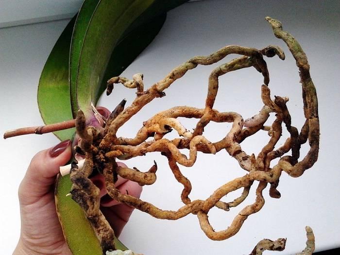 Рассказываем, что делать, если у орхидеи на цветоносе появились листья
