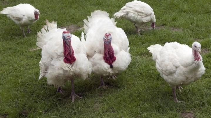 Правила выращивания индюков на мясо в домашних условиях