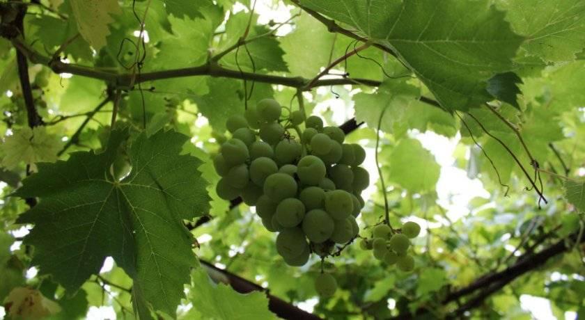 Обрезка винограда летом: как правильно обрезать от ненужных побегов видео
