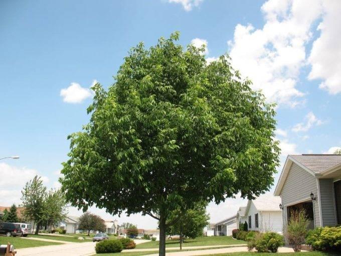 Как называется лист ясеня. величественный воин сада — дерево ясень