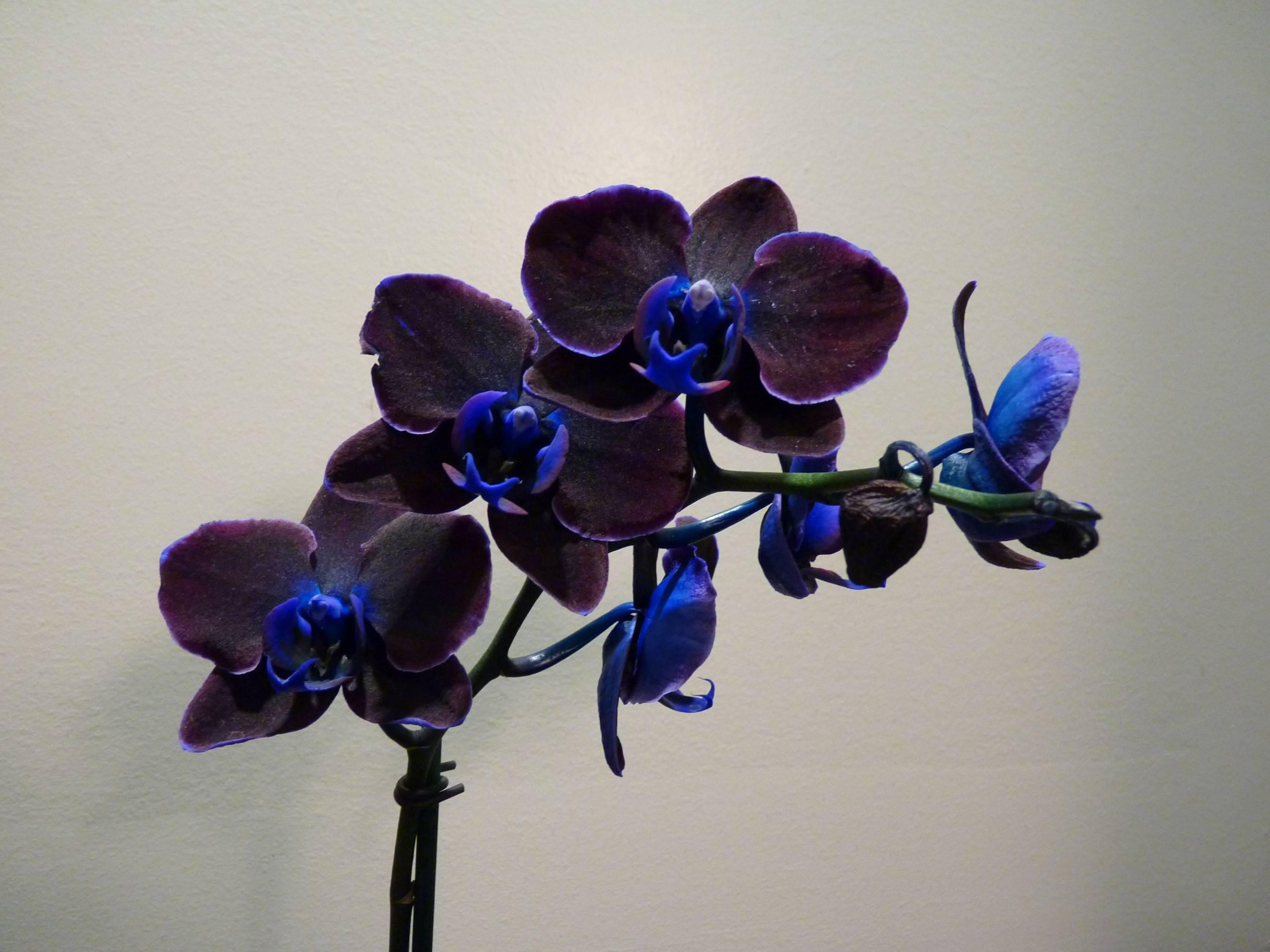 Великолепный черный фаленопсис: фото и названия сортов