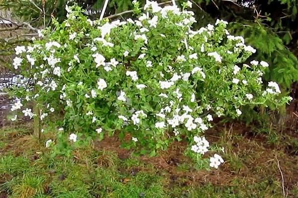 Комнатное растение бакопа и ее виды с фото и описанием