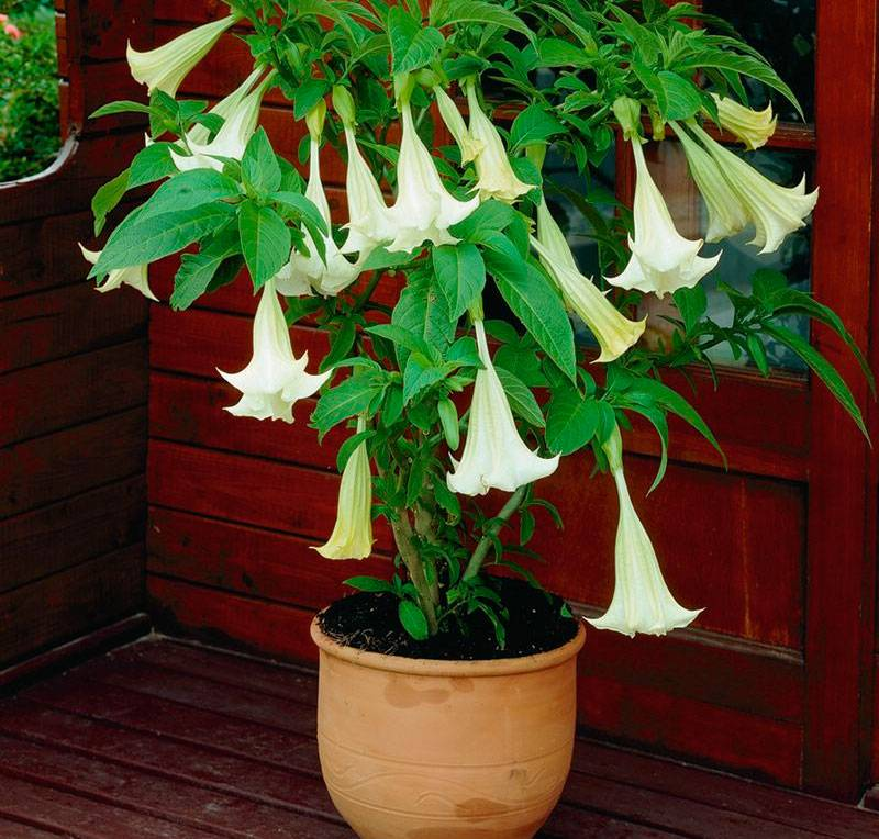 Бругмансия цветок: примеры по уходу и способы размножения
