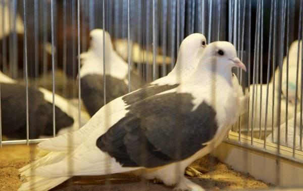 Правильное разведение мясных голубей – выгодно ли это?