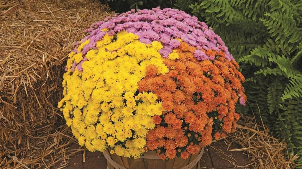 Как вырастить хризантемы мультифлора