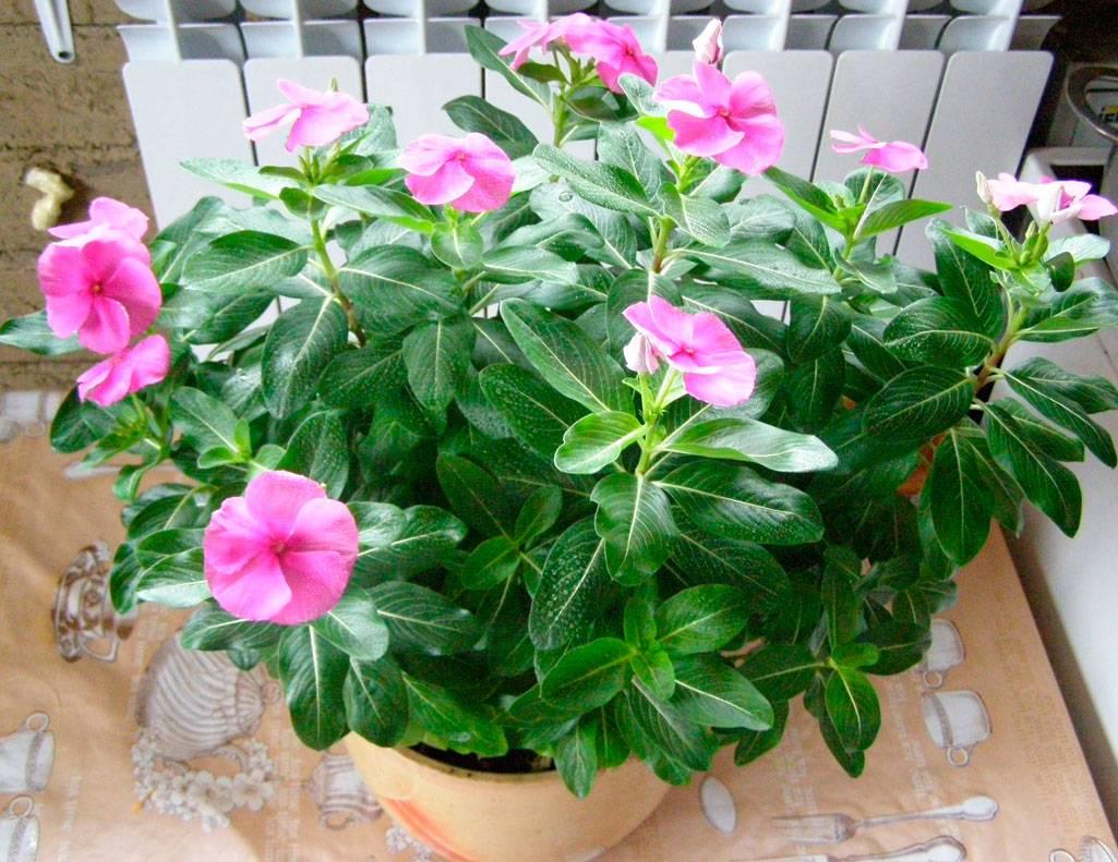 Выращивание катарантуса из семян в домашних условиях