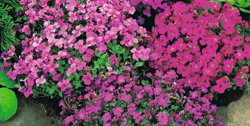 Особенности выращивания дицентры в саду