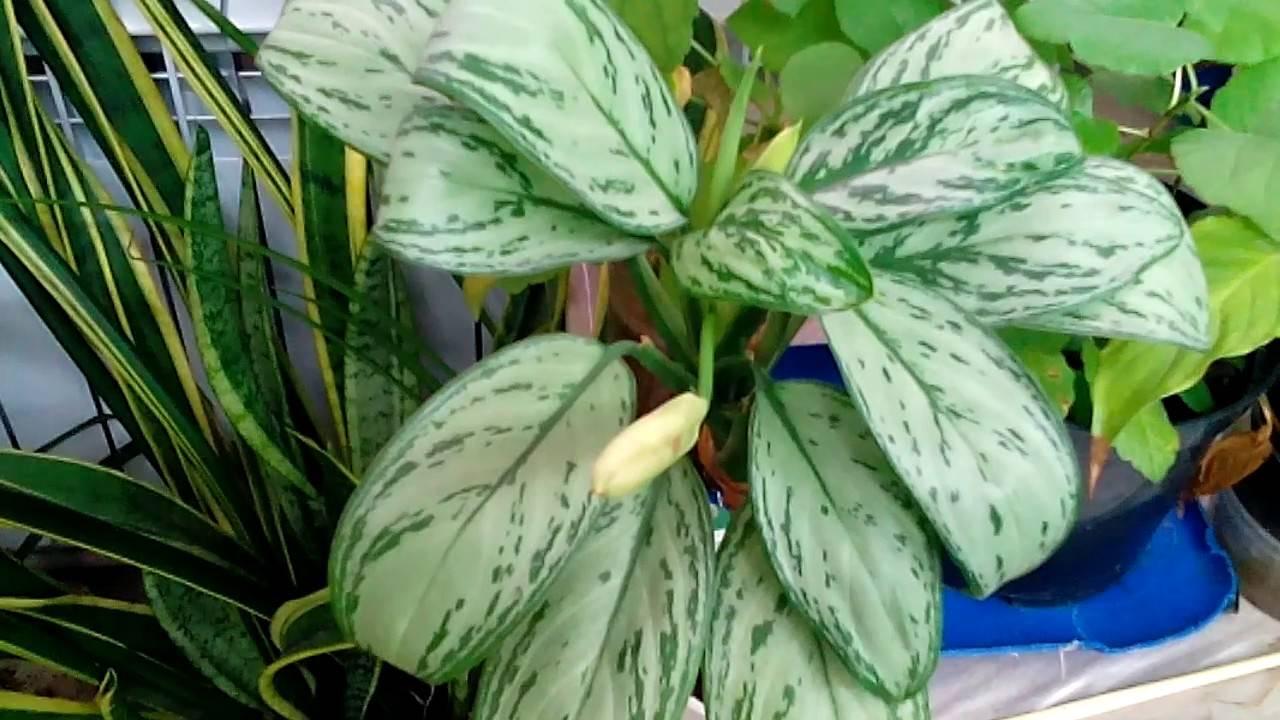 Пятнистая диффенбахия «камилла» эффектное и опасное растение — как ухаживать в домашних условиях?