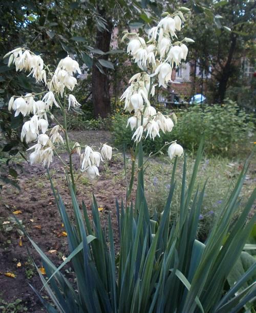 Юкка садовая: посадка, уход, размножение цветка и популярные виды с фото