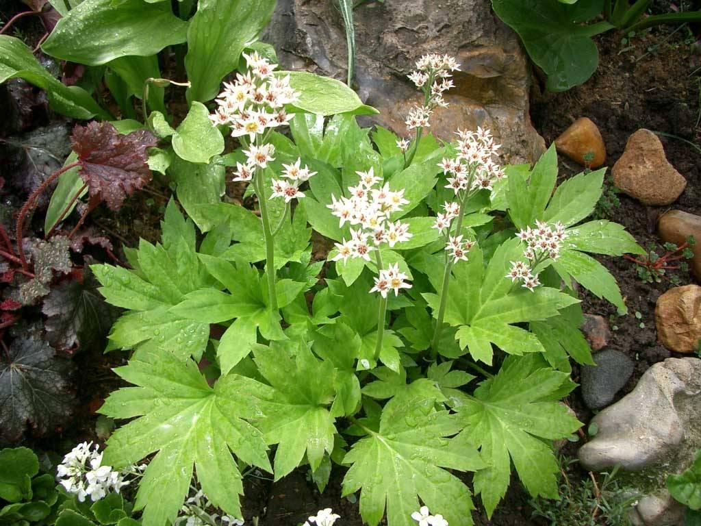 Мукдения «карасуба»: посадка и уход, выращивание из семян и зимостойкость цветка в открытом грунте