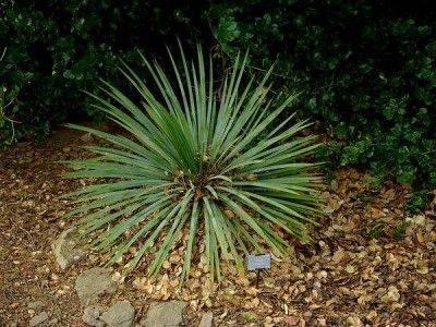 Юкка – полезные свойства юкки, листья юкки, цветы юкки
