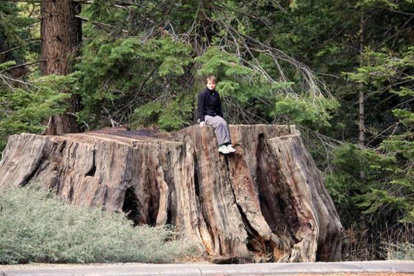 Секвойи – самые высокие деревья в мире. размеры, описание, где растут, фото и видео