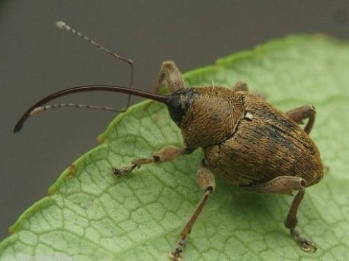 Великан среди насекомых — жук геркулес
