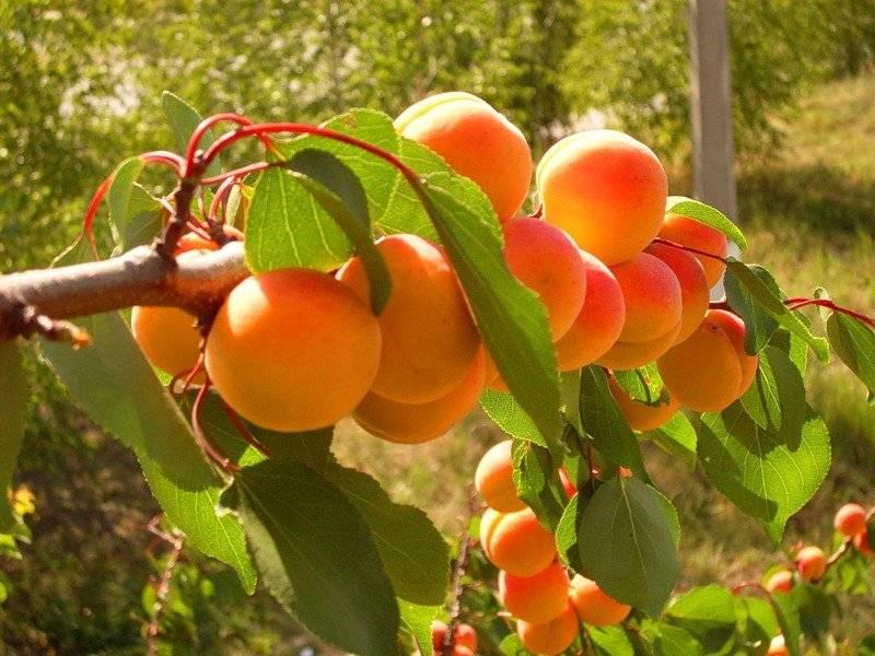 Секреты успешной прививки абрикоса