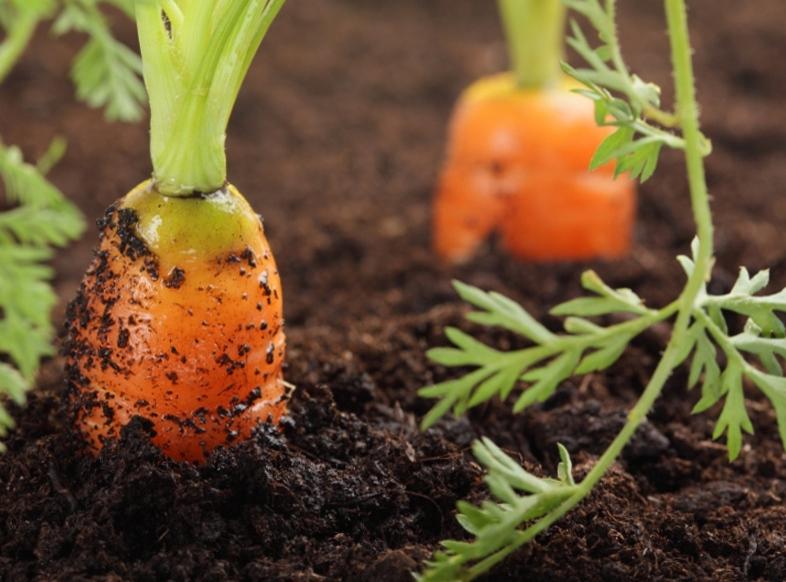 Морковь: подготовка к высадке и способы культивирования