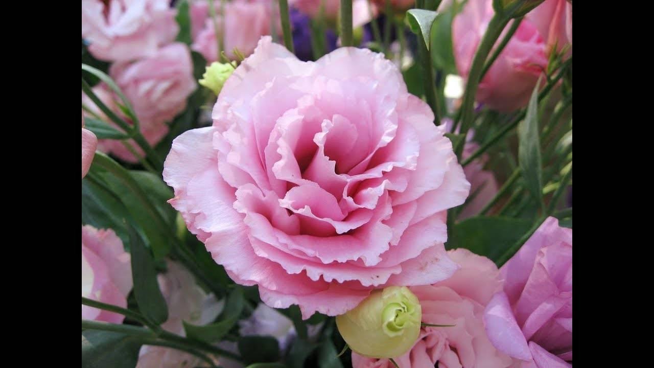 Эустома — выращивание королевы букетов