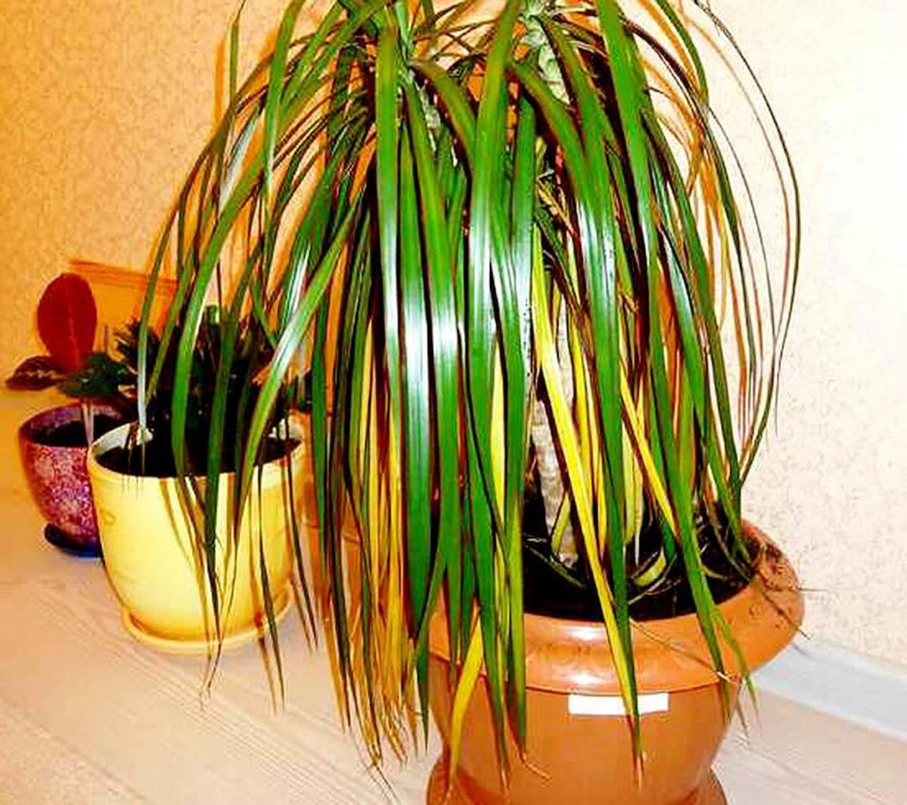 Проблемы драцены – желтеют и сохнут листья