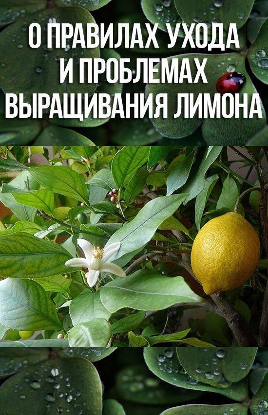 Как вырастить плодоносящий лимон в домашних условиях из косточки, посадка и уход, борьба с заболеваниями