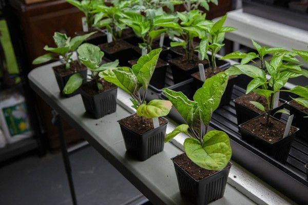 Пошаговая инструкция как вырастить баклажаны на урале? какой сорт выбрать, когда сеять и пересаживать в теплицу, советы по уходу