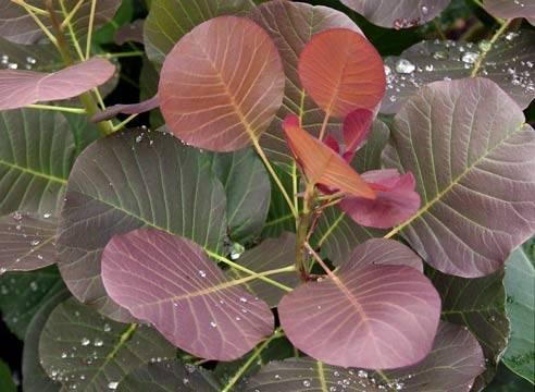 Скумпия — легкий уход за красивейшим растением