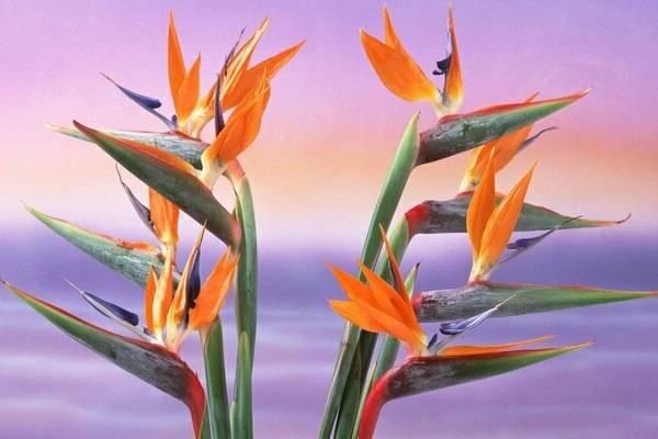 Особенности выращивания стрелиции из семян в домашних условиях