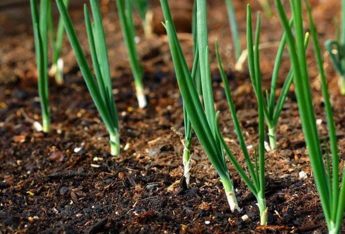 Выращивание репчатого лука из севка