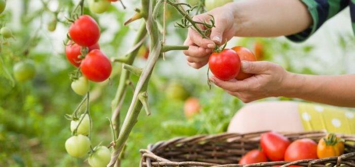 Какие сорта помидор самые урожайные?