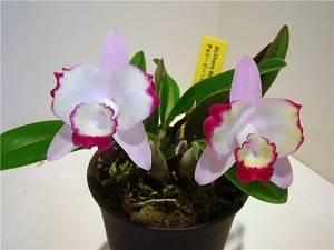 Пятна на листьях орхидеи: причины и правила лечения