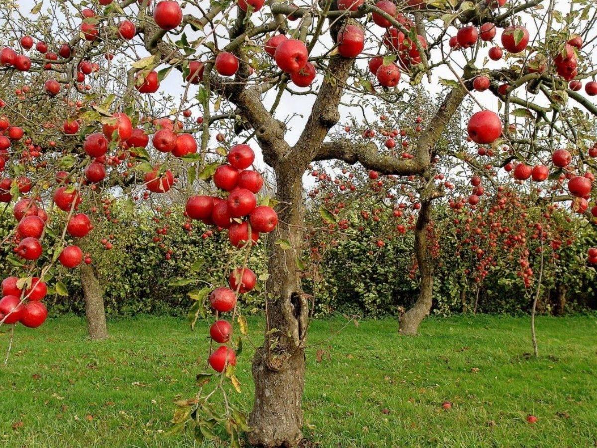 Как и чем удобрять деревья в саду
