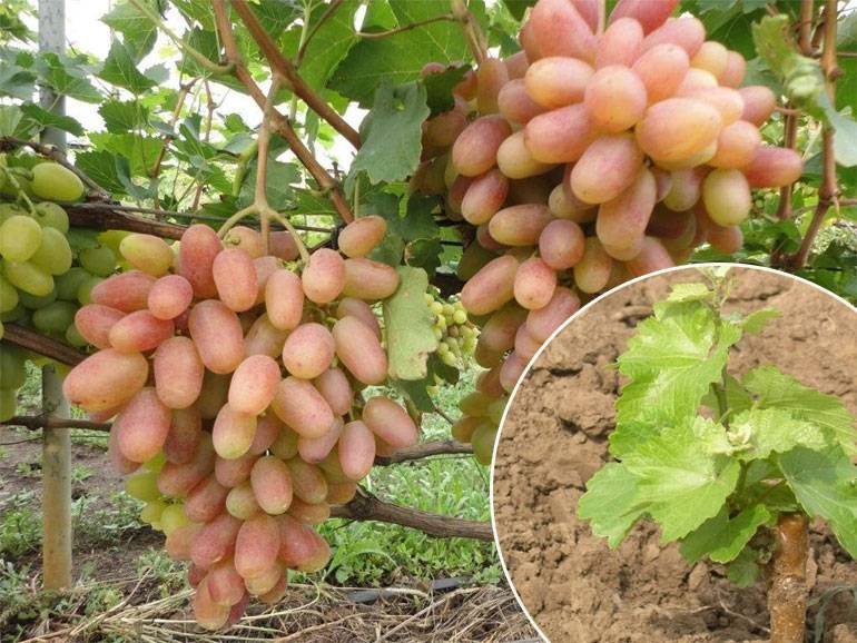 Правила посадки и выращивания винограда на урале
