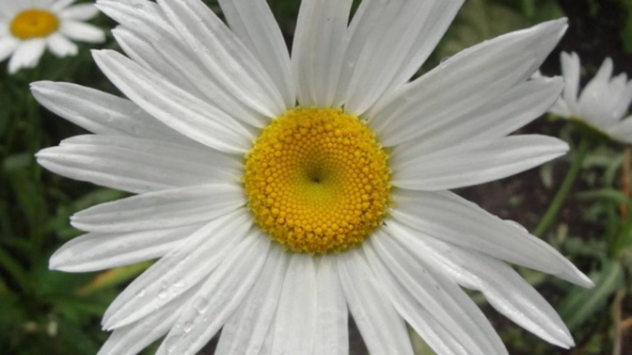 Нивяник или садовая ромашка: разновидности, выращивание из семян и уход за многолетником
