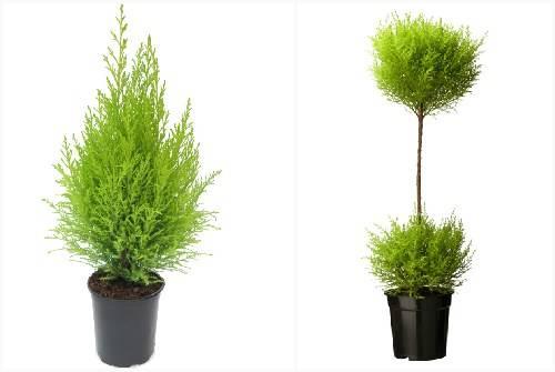 Как вырастить кипарис из шишки. кипарис из семян