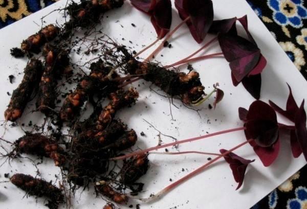 Размножение кислицы семенами, делением куста, детками, видео