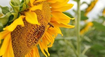 Применение фуза подсолнечного: дешевая витаминная добавка в корм для животных и птиц