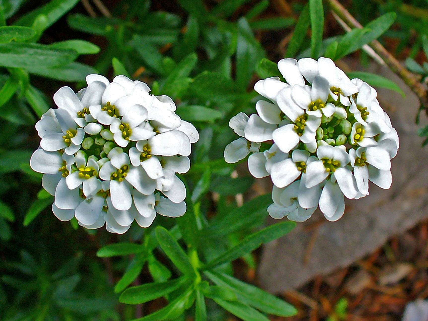 Иберис многолетний: сорта, выбор, выращивание, размножение