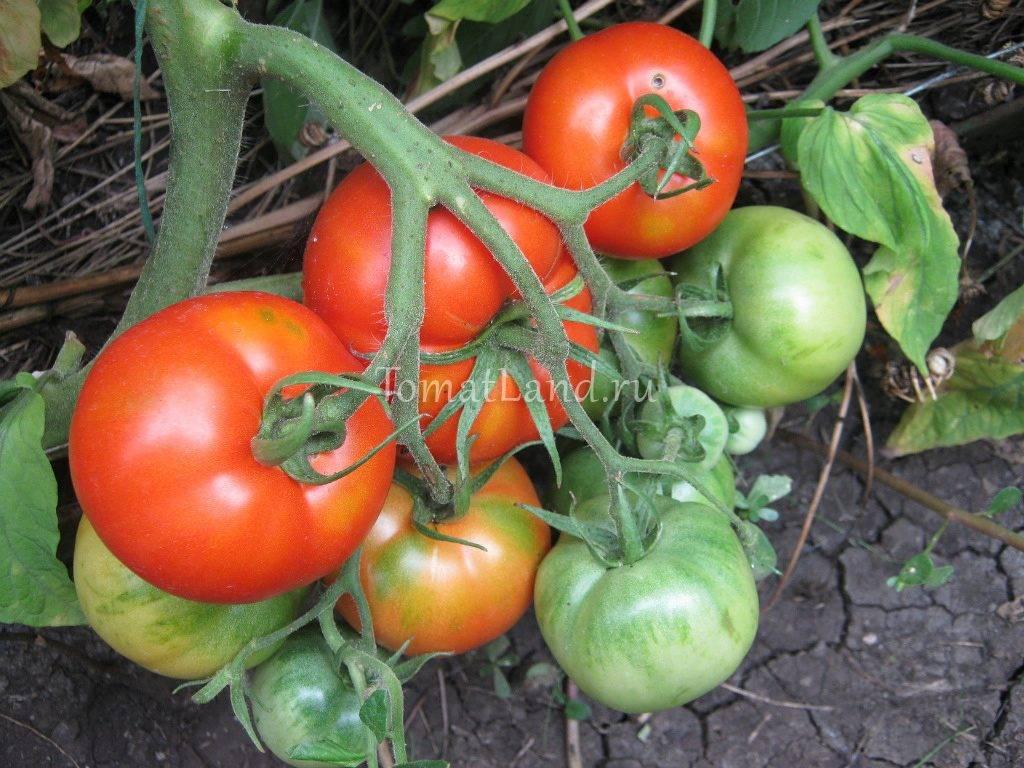 Сорт помидоров хурма: секреты выращивания необычного томата