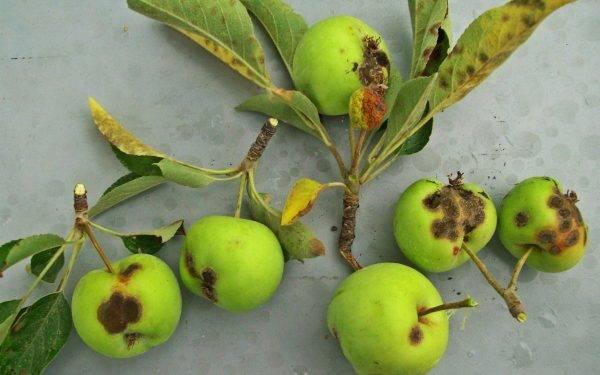 Причины, почему на яблоне гниют яблоки. обоснования от профессионалов