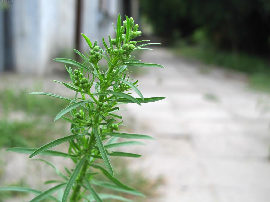 Когда цветет и где растет амброзия в крыму